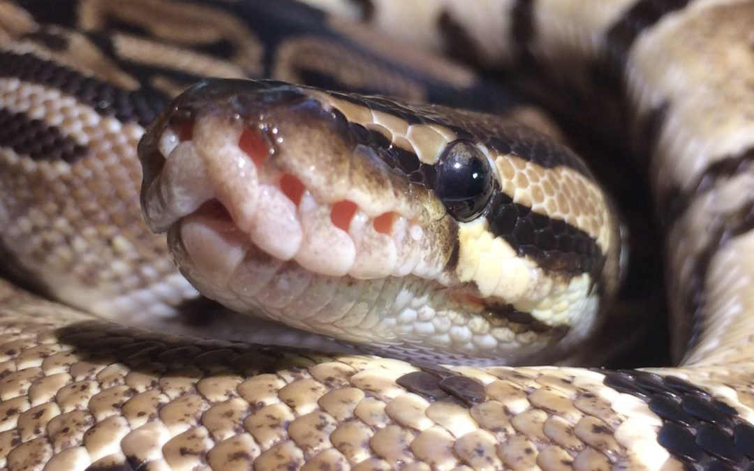 Ball python not eating? Here's why!